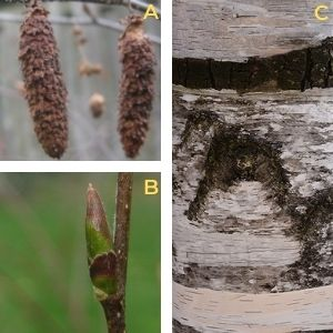 Collage of paper birch features