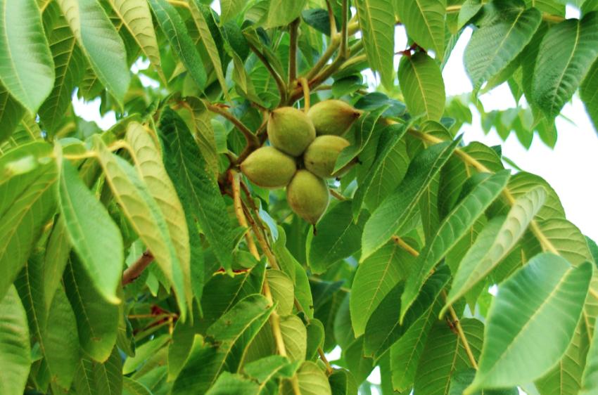 butternut tree identification - Parfu kaptanband co