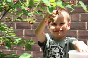 Boy picking serviceberry fruits
