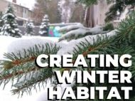 "White spruce in the snow, reads ""Creating Winter Habitat"""