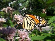 Monarch butterfly on John pye weed