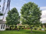 Two large tulip trees planted in a backyard