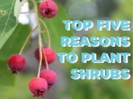 "Serviceberry fruit next to ""Top Five Reasons to Plant Shrubs"""