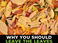"Bed of dried leaves with ""Why you should leave the leaves"""