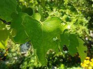 Eastern redbud leaf damaged by leafcutter bee
