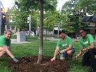 Volunteers mulching a tree.