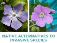 "Periwinkle and wild geranium, reads ""Native Alternative to Invasive Species"""