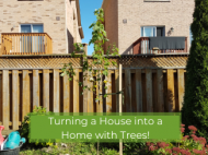 A freeman maple tree in a Toronto backyard with text saying Turning a House into a Home with Trees!