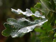 Oak leaves in the rain