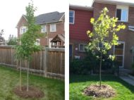A tree planted in the backyard and a tree planted in the front yard