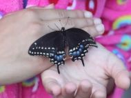 Black swallowtail butterfly resting on a pair of hands