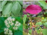 Pagoda dogwood leaves, flowers and berries collage