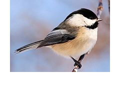© 2011 Alain Wolf Chickadee perching on a branch