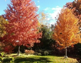Two large Freeman maples with fall leaves