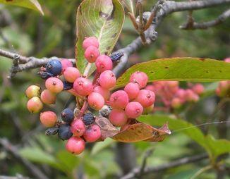 Northern wild raisin