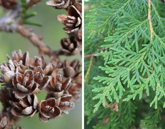 Eastern white cedar cones and scales