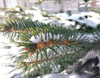 Spruce branch covered in snow