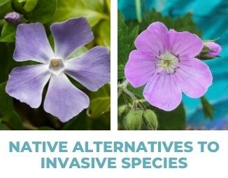 "Periwinkle and wild geranium, reads ""Native Alternative to Invasive Species"""