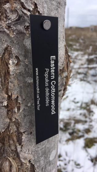 Eastern cottonwood tag hanging from a tree