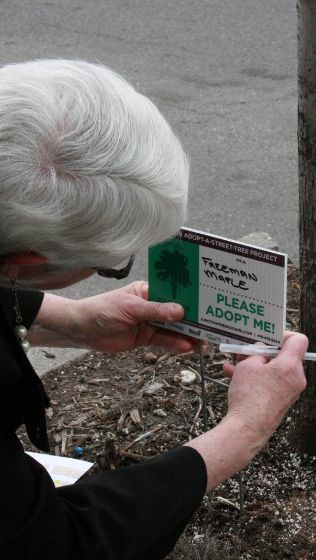 Adopt a Street Tree volunteer placing adoption sign by a tree