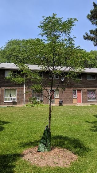 Tree planted on a Toronto Community Housing Corporation property