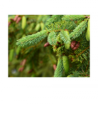 New growth on a spruce