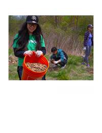 Volunteer mulching newly planted trees