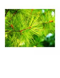 White pine needles up close