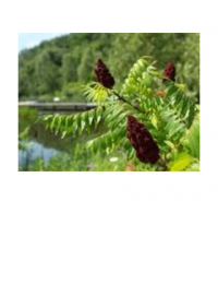 staghorn sumac on water