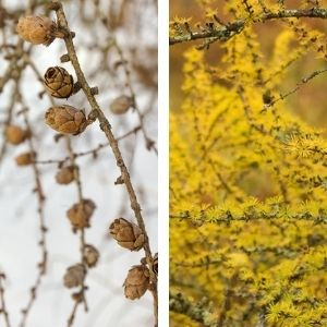 Collage of branch with cones and no needles and yellow needles