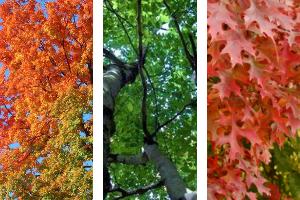 © 2016 Brenna Anstett Three panels with different tree canopies