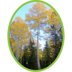Trembling aspen with yellow fall colour