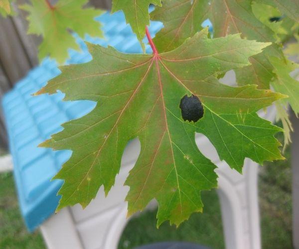 Black tar spot on maple leaf