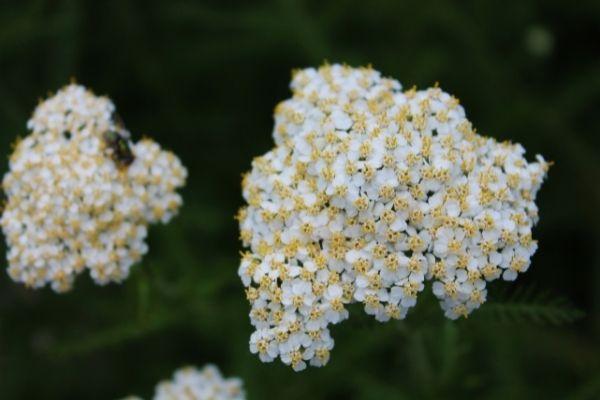 Yarrow flower