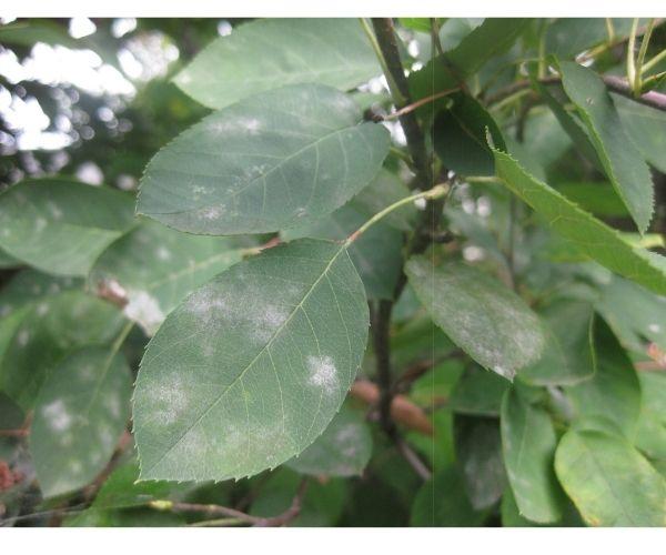 powdery mildew on a serviceberry leaf