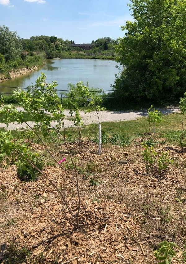 Newly planted trees in front of a pond
