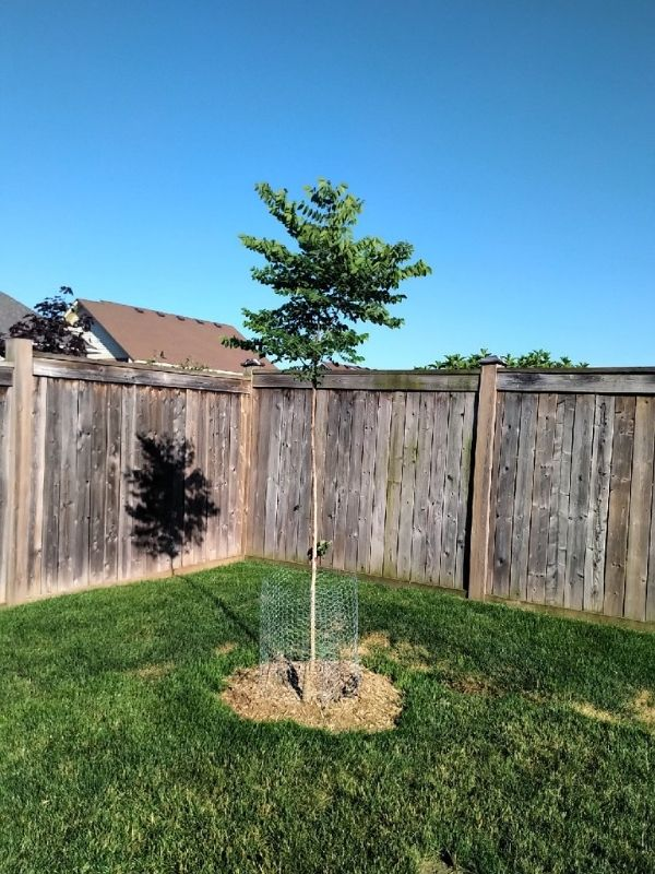 Kentucky coffee tree with chicken wire fencing