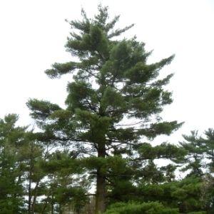 Mature white pine in a green field